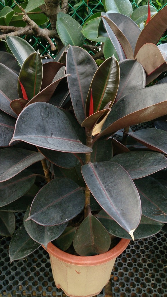 26 big tall houseplants betsy begonia. Black Bedroom Furniture Sets. Home Design Ideas